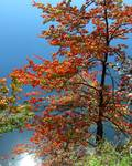 Autumn Tree By Lake