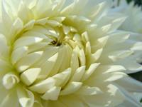 CHRISTMAS GIFT GALLERY White Dahlia Flowers