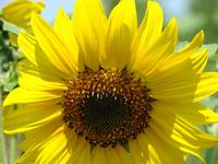 Christmas Gift Gallery Sun Flower Art Gifts