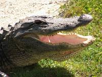 Happy Gator
