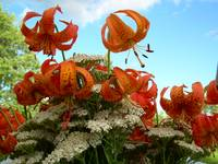 Tiger Lilies 400