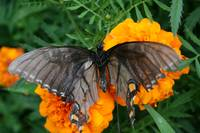 A fallen black swallowtail on orange marigold