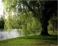 Weeping Willow 2009