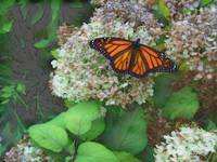Our Monarch Butterfly-2