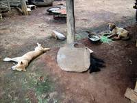 Laos Village dogs