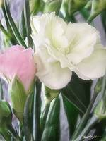 Pink and White Carnations 2