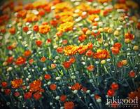 flourish of persimmon chrysanthemums