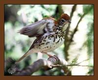wood thrush song and dance