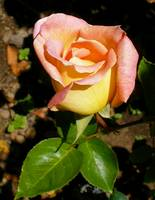 yellow pink rose 2