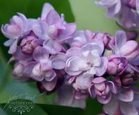 double lilac study