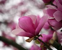 paint the sky with magnolia pink