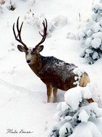 Deer and Snow #2