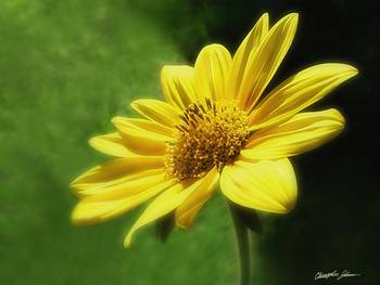 Large Yellow Wildflowers 4 by Christopher Johnson
