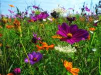 Field of Wild Flowers in Summer