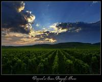 Vineyard at Sunset, Burgundy, France