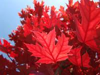 LEAVES Red Autumn Leaves Fall Art Baslee