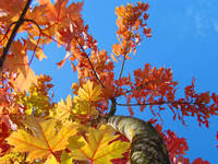 FALL TREES Autumn Leaves Art Blue Sky Baslee