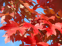 LEAVES FALL ART Red Autumn Leaves Blue Sky