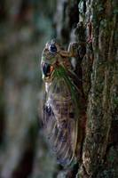 Cicada (IMG_8515) by Jeff VanDyke