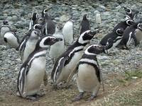 Magellanic Penguins