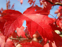 RED AUTUMN LEAF Fall Art Blue Skies Baslee