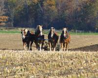 Team of Horses Tilling the Fields