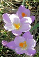 Purple Crocus In Sunshine