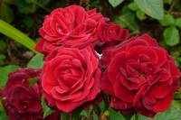 Red Roses Named after Roy Castle