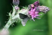 Chimney Sweeper on Thistle