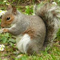 """Grey Squirrel"" by rosemariesw"