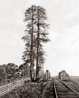 Palo Alto Tall Tree, by Watkins, c1870 by WorldWide Archive