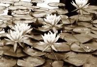 Water Lilies in Sepia