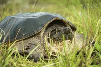Snapping Turtle basking