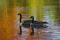 Canada Geese - Kathryn Albertson Park