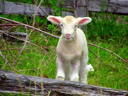 lamb in pen spring 2007 by marezlove
