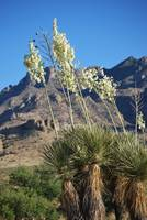 yucca plants blooming