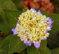 lavendar and yellow hydrangea bloom emerging