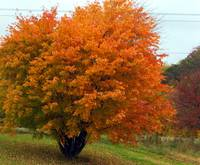 autumn's orange tree foliage fiery