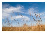 Indian Grass & Blue Sky