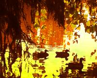 Duck Pond in Red Light