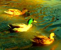 Three Ducks Swimming