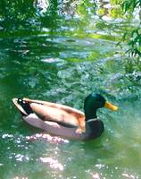 Duck On Green Pond