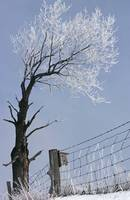 Ice covered tree and fence