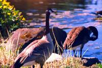 Wedded Bliss, Canada Geese in Springtime by Priscilla Turner