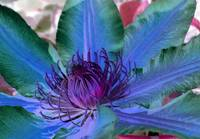 Purple and Blue Clematis