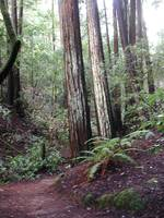 Redwoods in Muir Woods