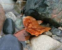 Leaf, Water & Rocks    9839