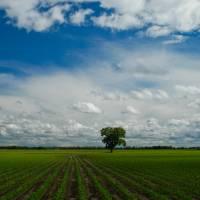 Nebraska Corn Field (P0020) Art Prints & Posters by Mark Dahmke