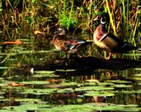 Morning Wood Ducks