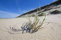 Cape Cod National Seashore Beach Grass